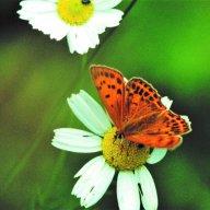 Entomologia Motylkowska